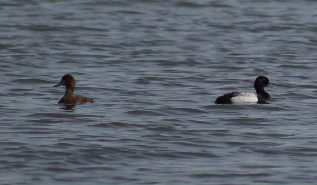 Lesser Scaup - female (left), male (right)