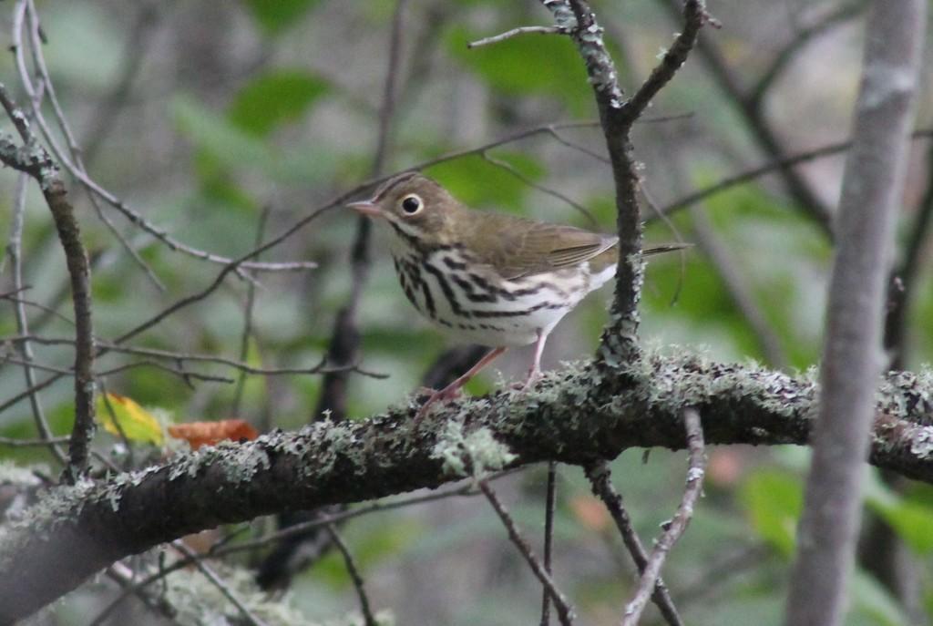 Ovenbird (NEW!)
