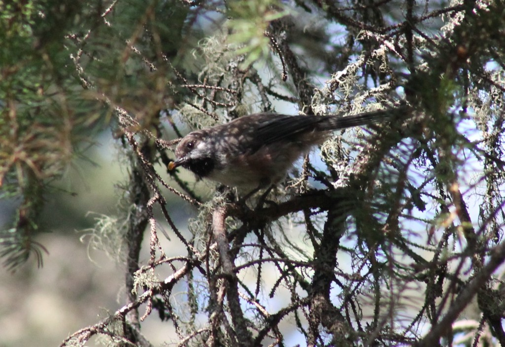 Boreal Chickadee (NEW!)